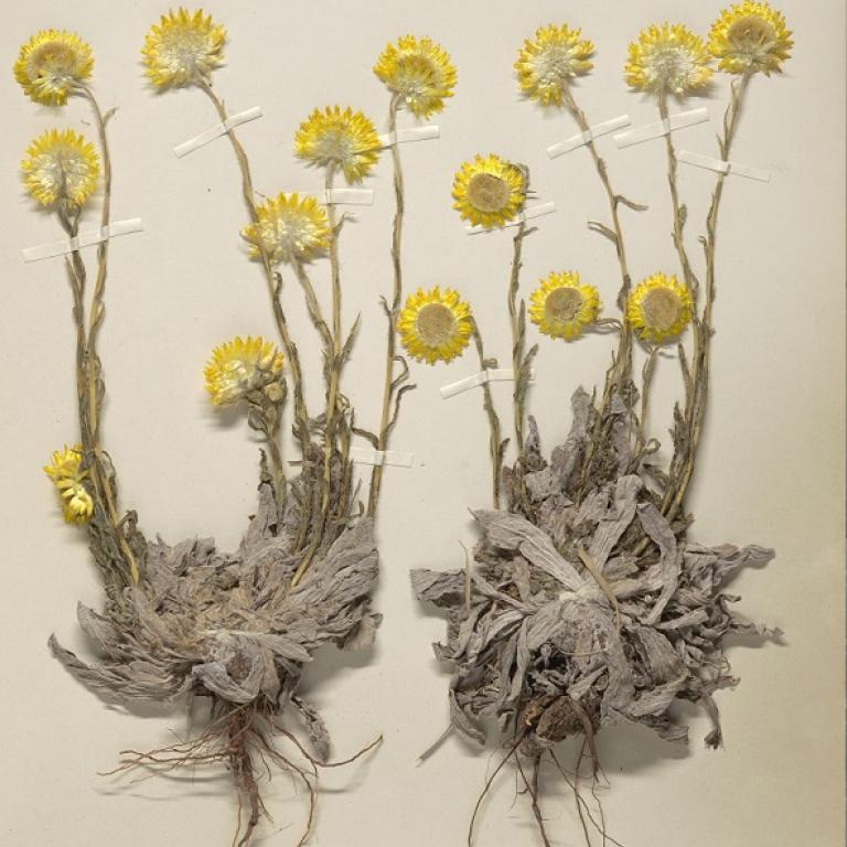 Helichrysum aureum, a specimen from South-Africa